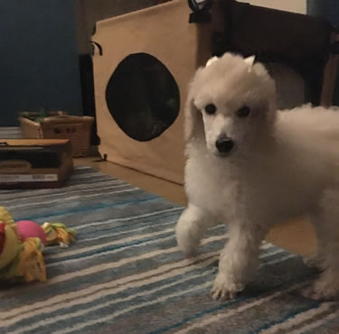 poddle puppy walking